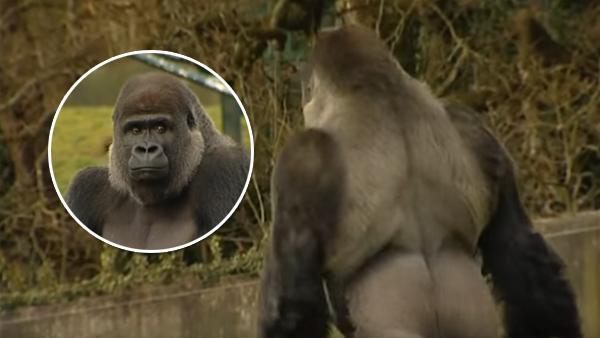 Gorillan har plockat upp ett extremt mänskligt drag - detta har skapat uppståndelse över hela världen