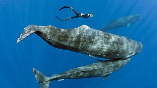 En dykare simmar runt en grupp sovande valar - det här är inte helt riskfritt