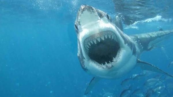 11 saker du garanterat hört om hajar - men vad är sant och vad är falskt?