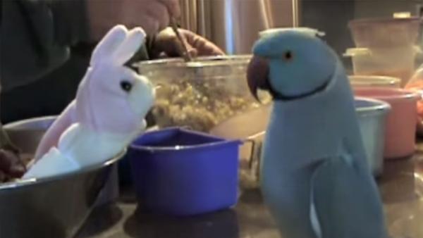Papegojan älskar sin nya leksak så mycket och blir så exalterad att han inte kan sluta prata om det