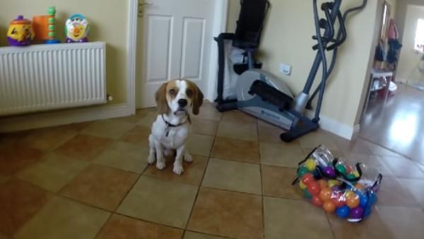 Hunden fick en påse med bollar - det som händer sen är bara för gulligt