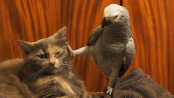 Papegojan söker kontakt med katten - responsen den får är den roligaste jag sett på länge