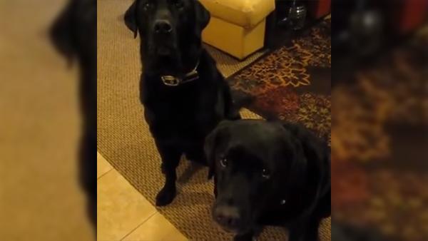 Någon av hundarna stal kakan från diskbänken - när matte ställer frågan gör en av hundarna någonting otroligt roligt